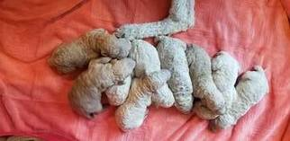 Goldendoodle Puppy For Sale in ANTELOPE, CA, USA