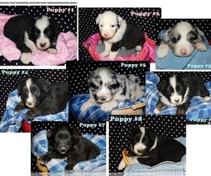Australian Shepherd Litter for sale in PLAINVIEW, TX, USA