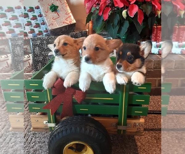 Medium Photo #1 Pembroke Welsh Corgi Puppy For Sale in SPRINGFIELD, MO, USA