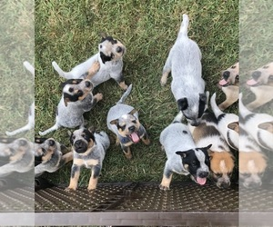Australian Cattle Dog Litter for sale in MOUNT SIDNEY, VA, USA
