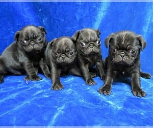 Pug Litter for sale in NORWOOD, MO, USA