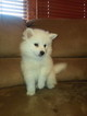 Small American Eskimo Dog