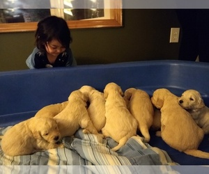 Goldendoodle Litter for sale in HIRAM, OH, USA