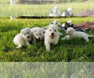 German Shepherd Dog Litter for sale in KEARNEY, MO, USA