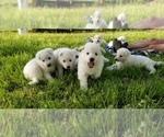German Shepherd Dog Puppy For Sale in KEARNEY, MO, USA