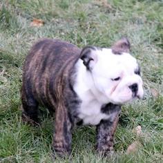 Bulldog Litter for sale in SARVER, PA, USA
