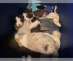Australian Shepherd Litter for sale in RISING SUN, IN, USA