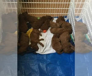 Goldendoodle Litter for sale in HUNTINGTON, IN, USA