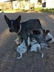 Australian Cattle Dog Puppy For Sale in NEW RIVER, AZ, USA