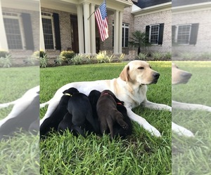 Labrador Retriever Litter for sale in RICHMOND HILL, GA, USA