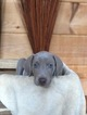 Weimaraner Puppy For Sale in PIGEON FORGE, TN, USA