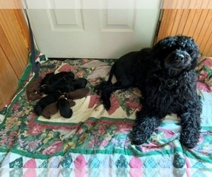 Portuguese Water Dog Litter for sale in LAKEVIEW, MI, USA