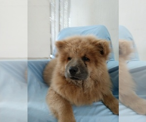 Chow Chow Litter for sale in LAKELAND, FL, USA