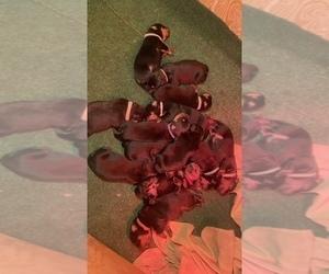 Medium Rottweiler