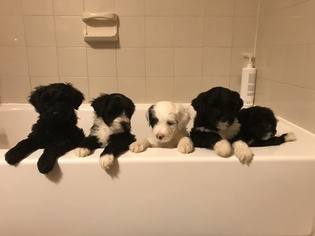 Portuguese Water Dog Litter for sale in BALDWIN, KS, USA