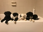 Portuguese Water Dog Puppy For Sale in BALDWIN, KS, USA