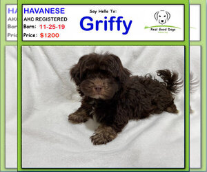 Havanese Litter for sale in ALBION, IN, USA