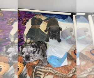 French Bulldog Litter for sale in ORLANDO, FL, USA