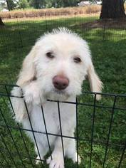 Labradoodle Litter for sale in PURYEAR, TN, USA