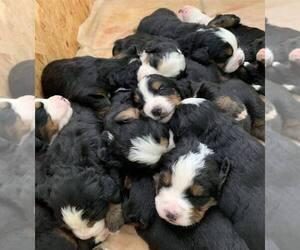 Bernese Mountain Dog Litter for sale in MACON, GA, USA