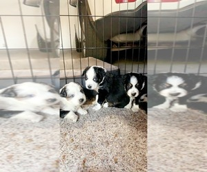 Australian Shepherd Litter for sale in WISNER, NE, USA