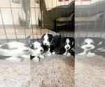 Australian Shepherd Puppy For Sale in WISNER, NE, USA