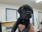Bullmastiff Puppy For Sale in WETUMPKA, AL, USA