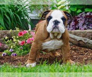 English Bulldog Litter for sale in NAPPANEE, IN, USA