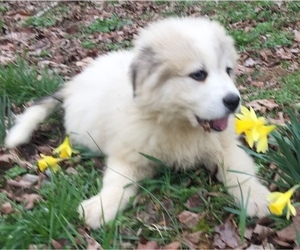Great Pyrenees Litter for sale in LYNCHBURG, TN, USA