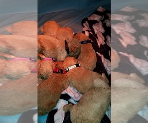 Goldendoodle-Poodle (Standard) Mix Litter for sale in WACO, TX, USA