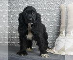 Cocker Spaniel Puppy For Sale in WARSAW, IN, USA