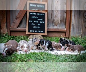 Miniature Australian Shepherd Litter for sale in MOUNT VERNON, WA, USA
