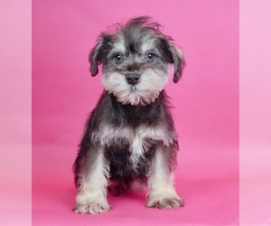 Schnauzer (Miniature) Litter for sale in WARSAW, IN, USA