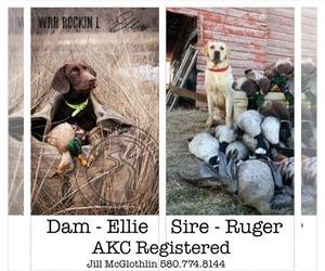 Labrador Retriever Litter for sale in ANADARKO, OK, USA