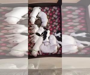 American Bulldog Litter for sale in GAFFNEY, SC, USA