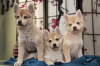 Alaskan Klee Kai Puppy For Sale in LOS ANGELES, CA, USA