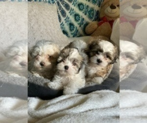 ShihPoo Litter for sale in RENO, NV, USA