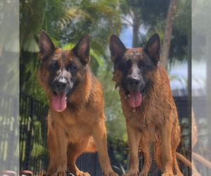 German Shepherd Dog Litter for sale in WELLINGTON, FL, USA