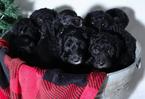 Sheepadoodle Puppy For Sale in JONESBORO, GA, USA