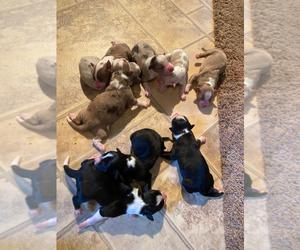 Australian Shepherd-Border-Aussie Mix Litter for sale in FRANKLIN, NC, USA