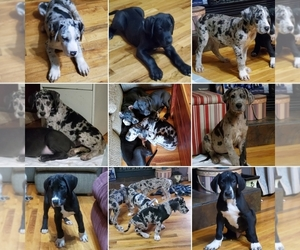 Great Dane Litter for sale in LYERLY, GA, USA