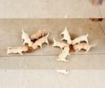 Labrador Retriever Puppy For Sale in VALLEY FALLS, KS, USA
