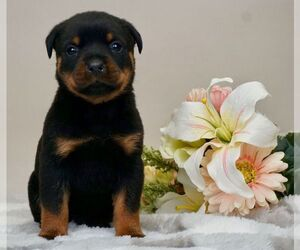 Rottweiler Litter for sale in NAPPANEE, IN, USA