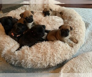 Frenchie Pug Litter for sale in KAPPA, IL, USA