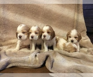 Cocker Spaniel Litter for sale in BEAVER, PA, USA