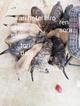 Mastiff Puppy For Sale in NEW BRAUNFELS, TX, USA