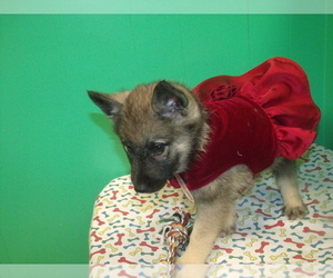 Norwegian Elkhound Litter for sale in PATERSON, NJ, USA