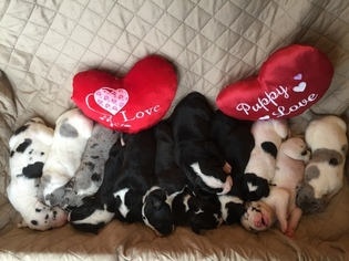 Great Dane Litter for sale in BUNCETON, MO, USA