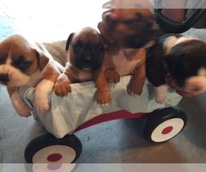 Boxer Litter for sale in KANSAS CITY, MO, USA