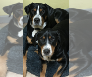 Greater Swiss Mountain Dog Litter for sale in HOLBROOK, MA, USA